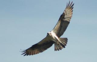 Spreadeagle Osprey