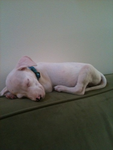 Baby puppy sleeping on the back of the sofa.