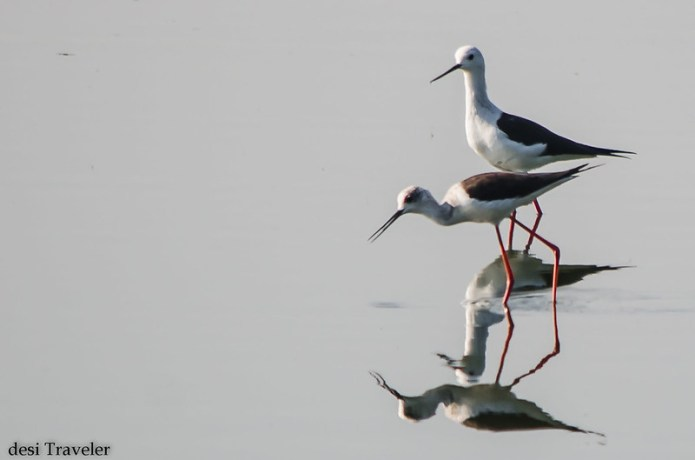 Himantopus himantopus or black winged stilt pair in water