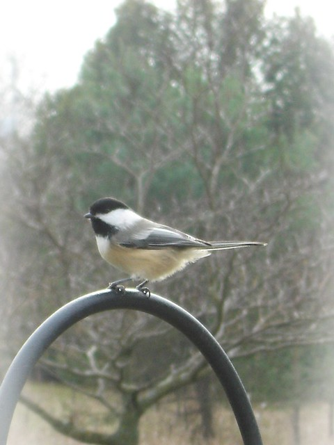 chickadee bird in nature