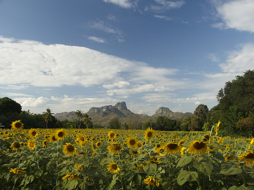 Sunflower Field Thai Feld Sonnenblumen Tan Tawan Central Thailand Southeast Asia Asien