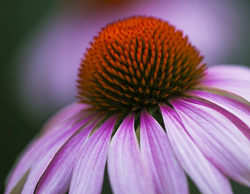 Coneflower Abstract by Bernie Kasper