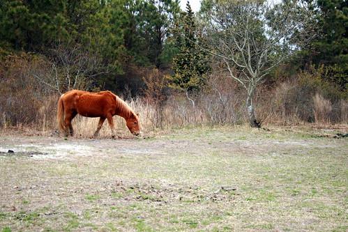 Assateague State Park - wild horse