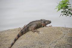 Un iguane dans la ville ... Miami (et c'est pas le seul!)