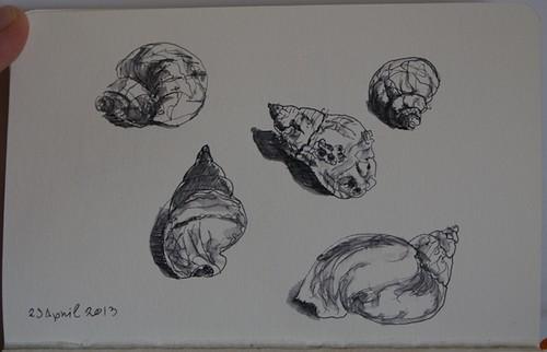 Pen sketch of seashells