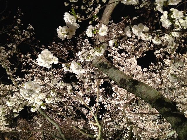 Nijo castle night cherry blossom