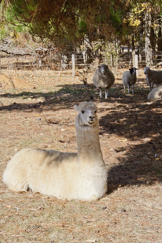 photo of a white alpaca and sheep in the paddock that the farm stand is in
