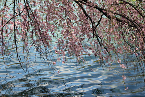 cherry blossoms on water, meadowlark botanical gardens