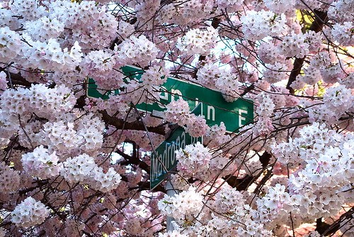 The Cherry Tree at Maiden Lane and Madrona Drive, Seattle WA