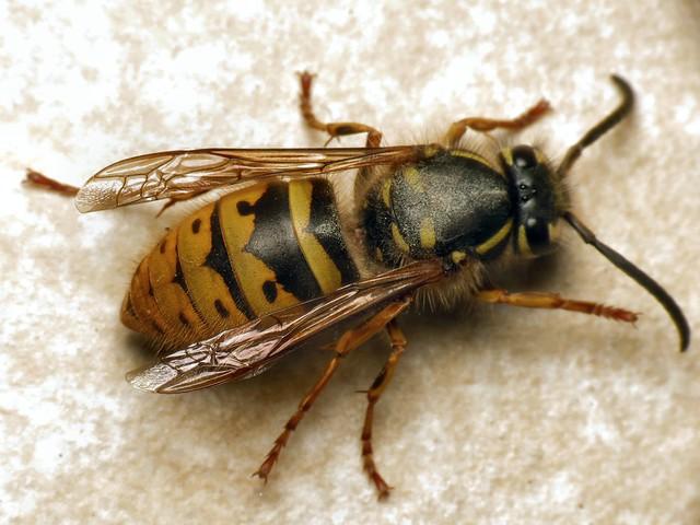 Common Wasp (Vespula (Paravespula) vulgaris)