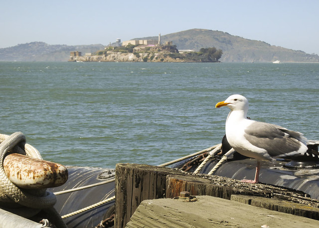 Gull with Alcatraz