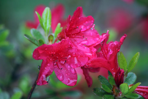 azaleas in the rain