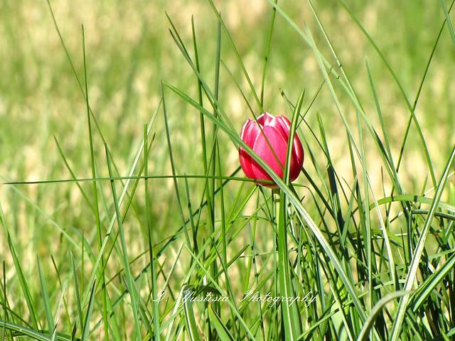 Lone Red Tulip