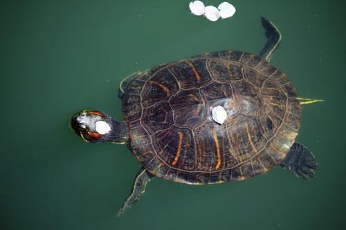 cherry blossom turtle: meadowlark botanical gardens