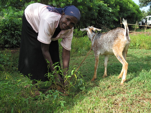 A woman tethers her goats in a farm field in Busia, Kenya