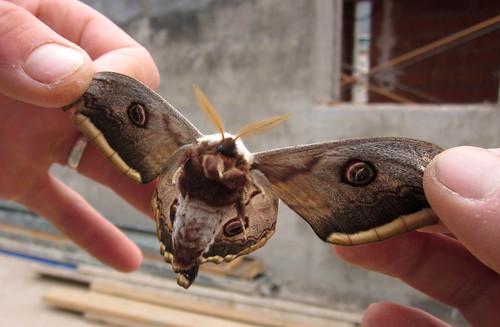 2013_04_26 PIC - Giant Emperor Moth (Saturnia pyri) 04