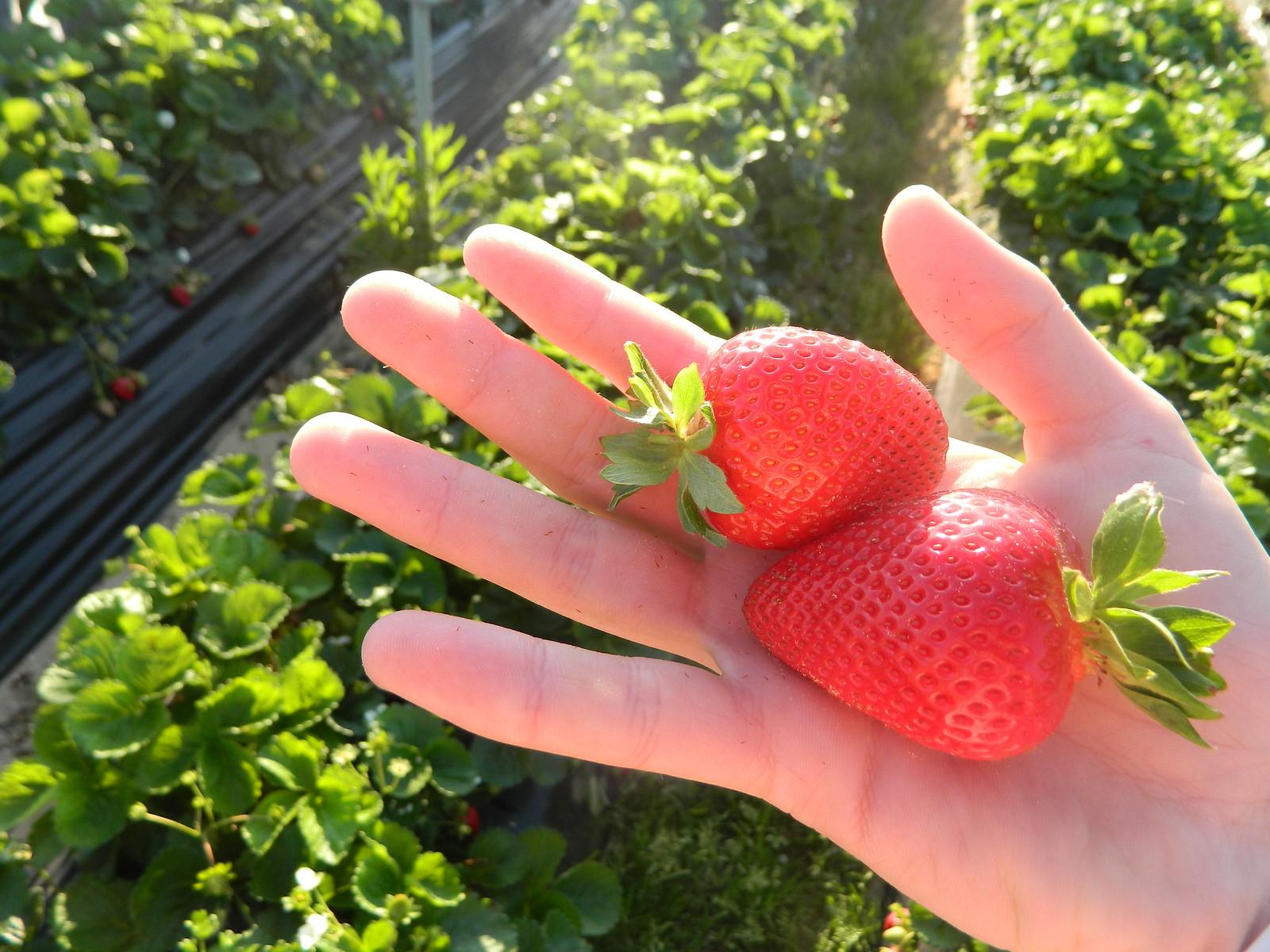 Fresas recolectadas