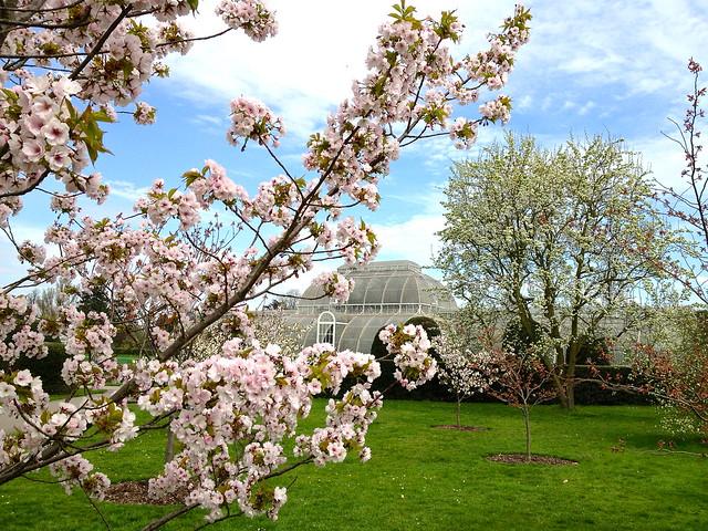 Kew cherry blossom