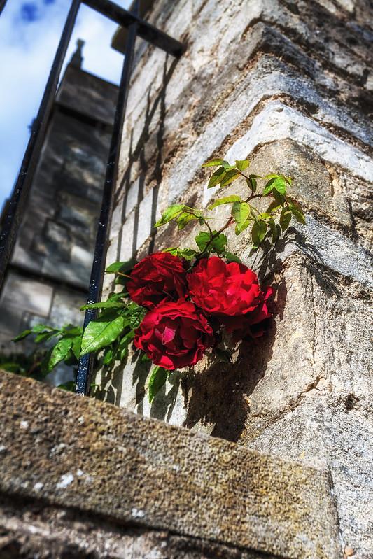Merton College Roses
