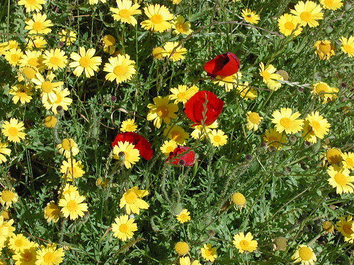 200304200104_yellow-daisies-red-poppies