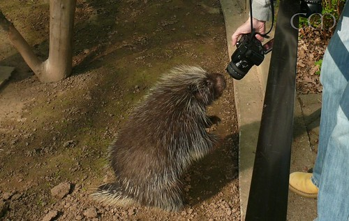 The American Porcupines (Baumstachler) are so affectionate today!