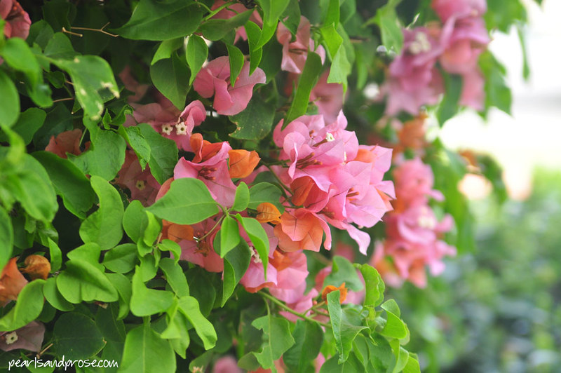 palm_springs_bougainvillea_web