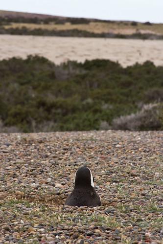 Pingüinos empollando