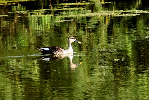 Spot Billed Ducks- by ShubhenduPhotography