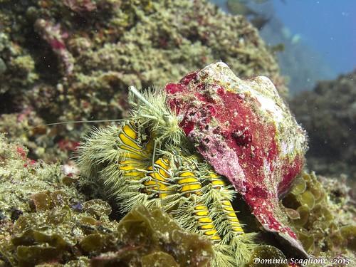 Unusual Hermit Crab