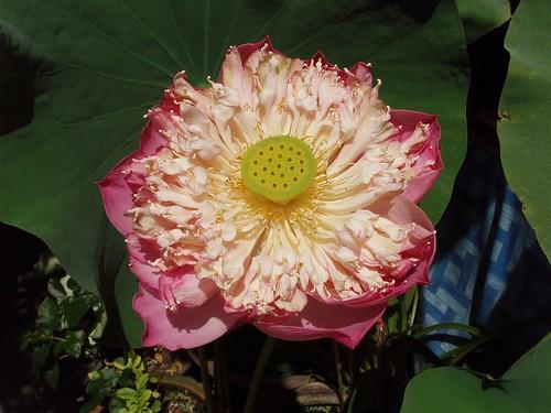 201202060181_pink-lotus