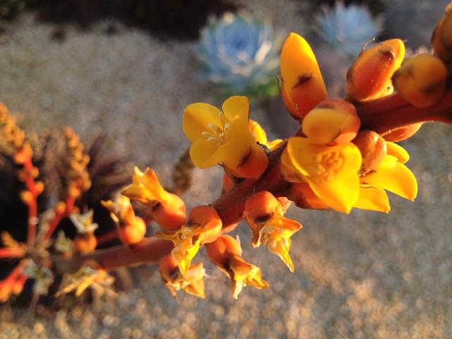 Yellow Dyckia flowers