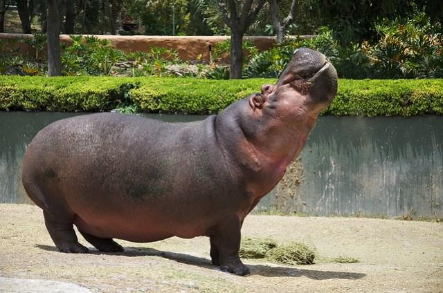 The fabulous hippo
