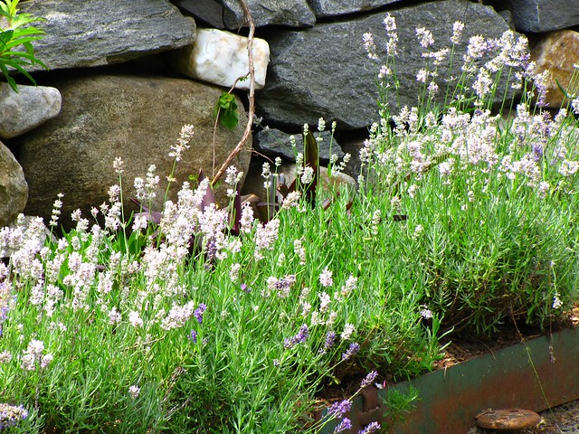 Light Purple Lavender