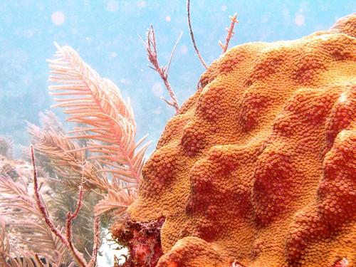 Boulder star coral (Montastraea annularis)