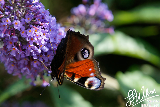 Peacock Butterfly – Daily Photo (21st August 2012)
