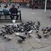 Multicolored pigeons in the town hall square - Copenhagen, Denmark