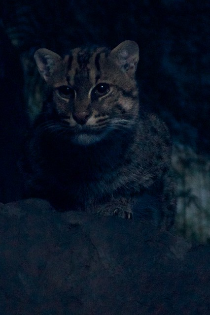 Fishing Cat Protrait