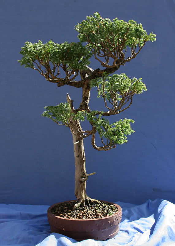 False Cypress