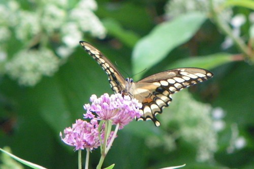giantswallowtail