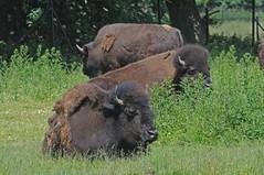 Präriebisons im Knutheborg Safaripark