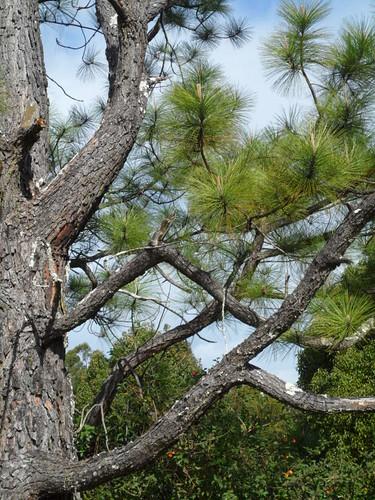 SAM 8020 A Fine Pine