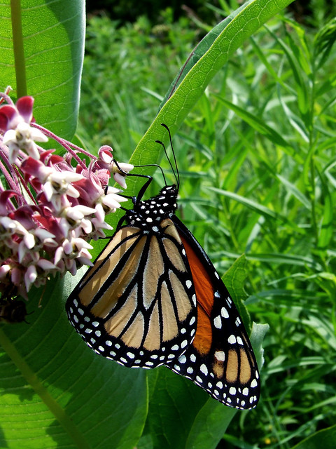 common milkweed with monarch 3