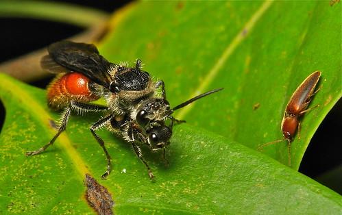 Velvet Ant Pair (Trogaspidia suspiciosa, Mutillidae)