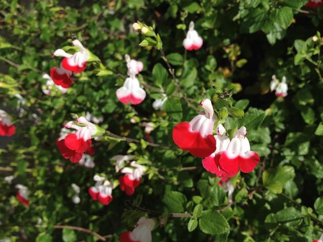 "Salvia ""Hot Lips"" (Salvia microphylla, Lamiaceae)"