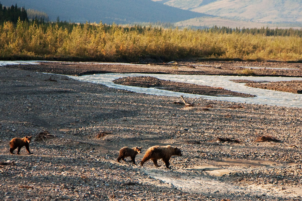 Denali Bear Crossing