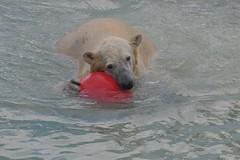 Eisbärin Qannik in der Monde Sauvage Safari in Aywaille