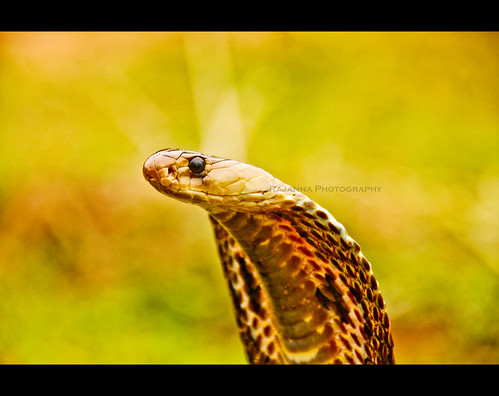Spectacled Cobra by Rajanna @ Rajanna Photography