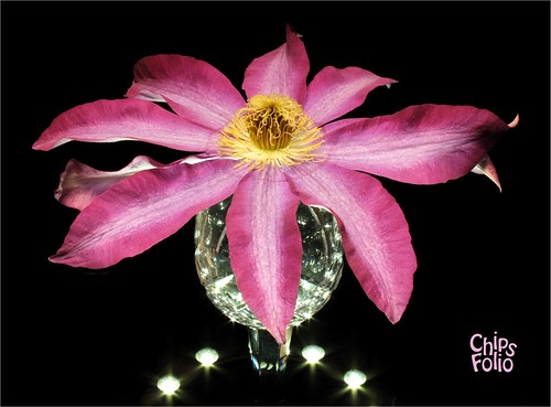 Clematis in a Crystal Glass