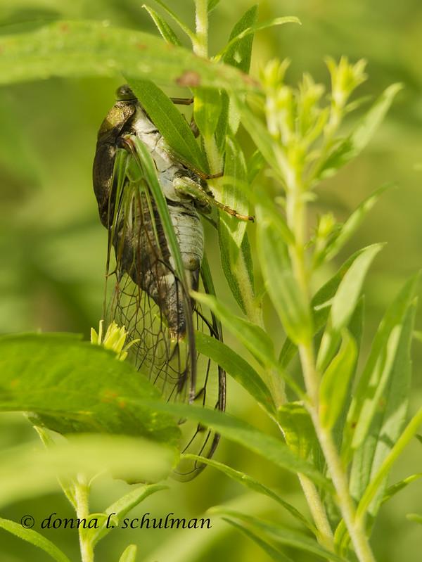 Negri-Nepote: Cicada