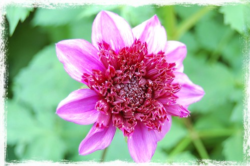 Magenta Dahlia With Puff Center